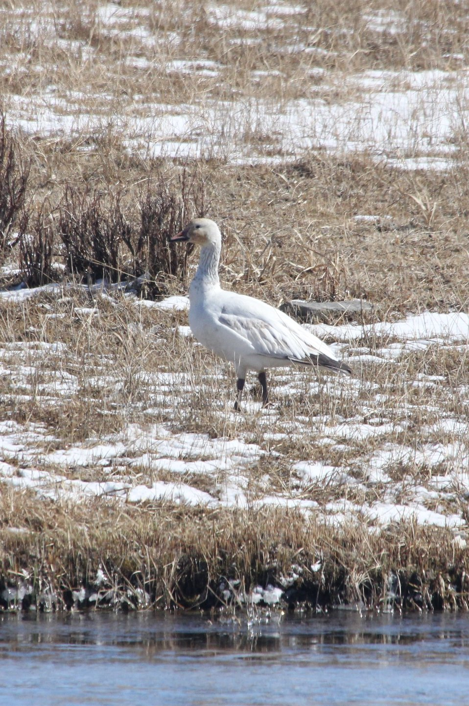 Visit by a Snow Goose