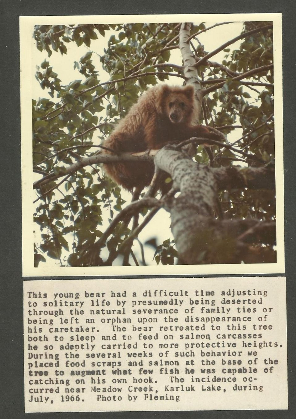 (1966) Bear in a Tree