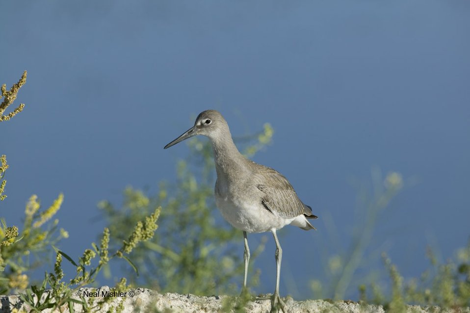 Willet Standing on the Shore of the Marsh