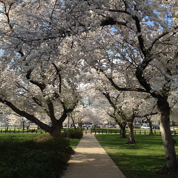 Tunnel of cherry blossoms in the Senate park.