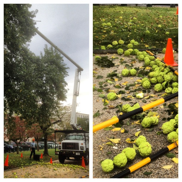Capitol harvest. AOC arborists collect large Osage-orange fruit. Tree named for Osage Nation who used it for bows.