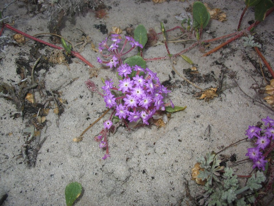 Lavendar sand verbena (Abronia umbellata)