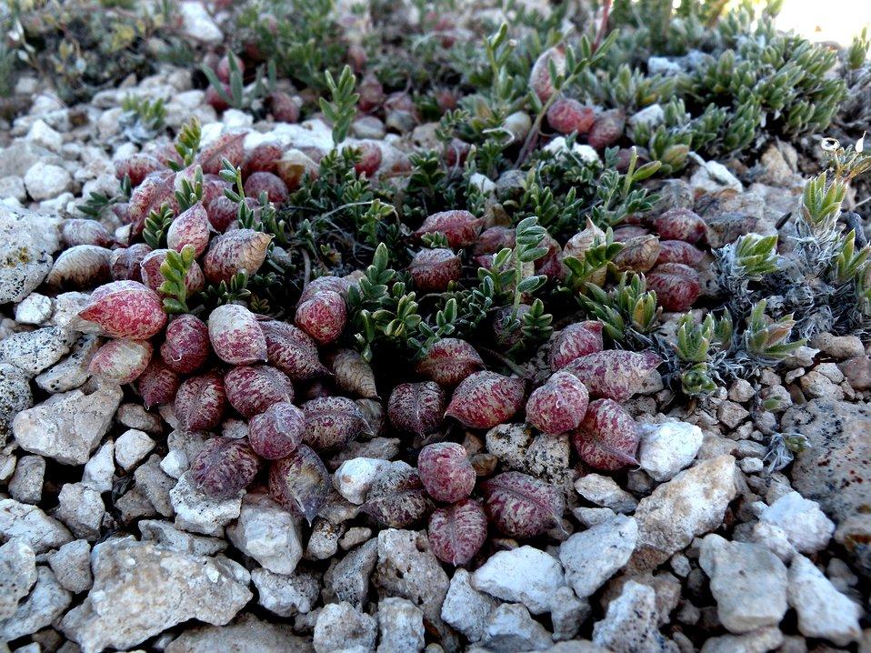 Heliotrope milkvetch ( Astragalus montii)