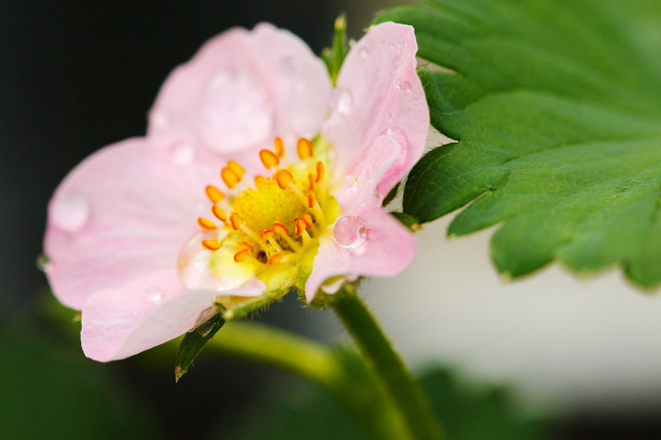 Flower of a strawberry