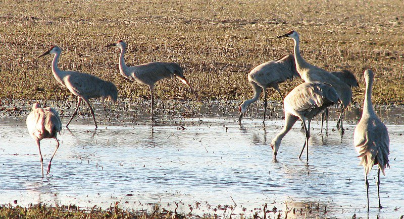 sandhill cranes staging at Muscatatuck NWR