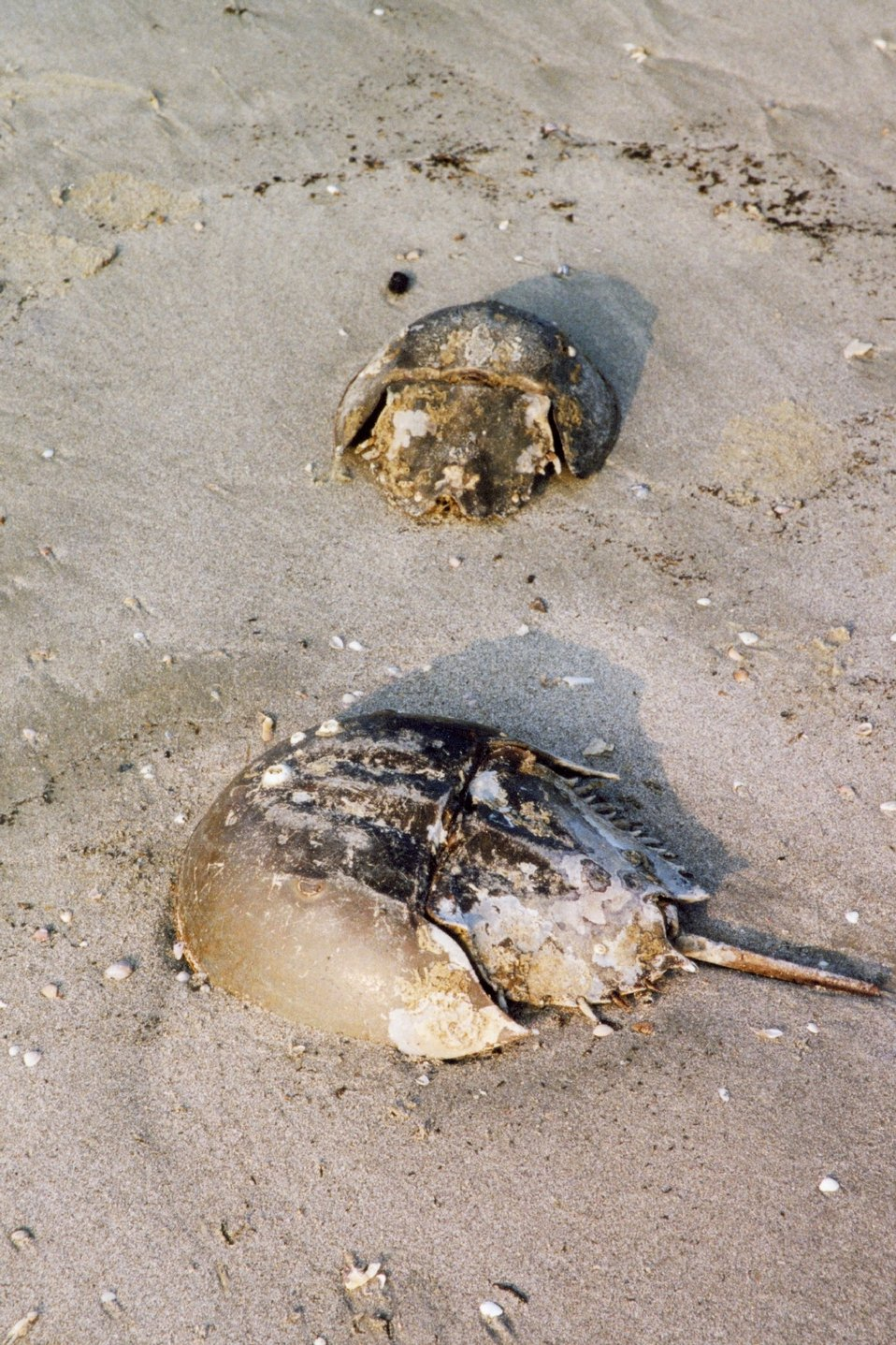 Horseshoe crab carapaces washed up on the beach.