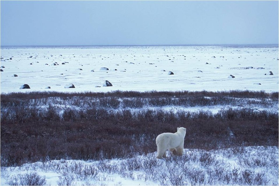 Polar Bear and a Barrier Island on the Alaska Arctic Coast
