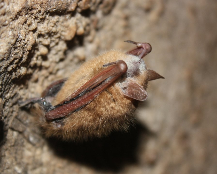 tri-colored bat with WNS