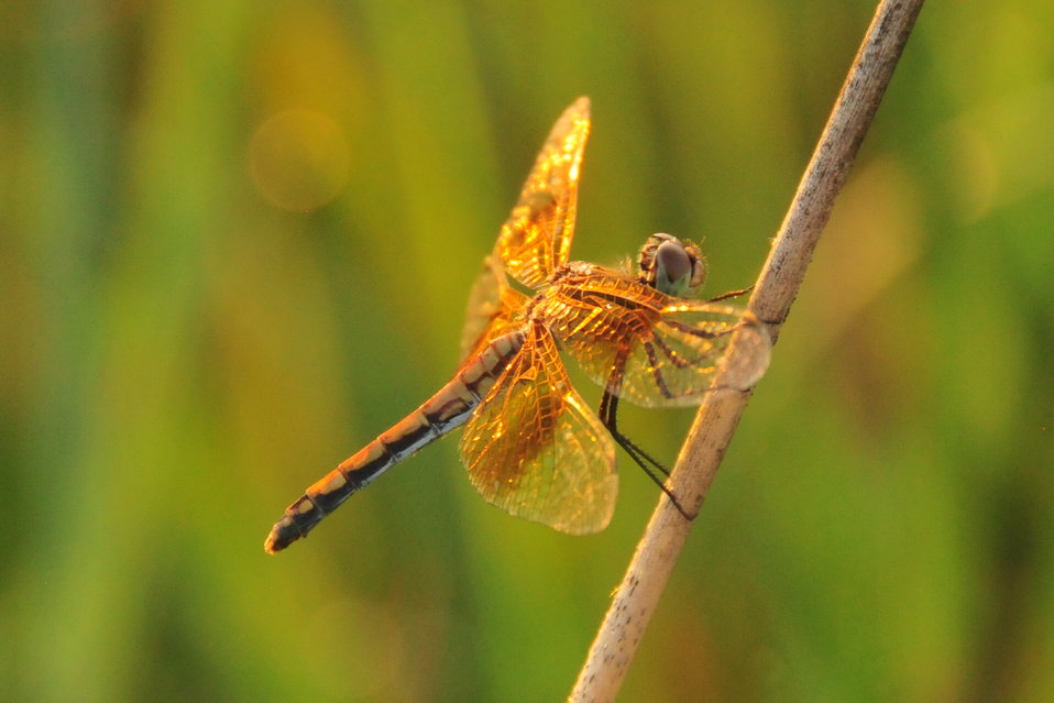 Dragonfly resting on bulrush