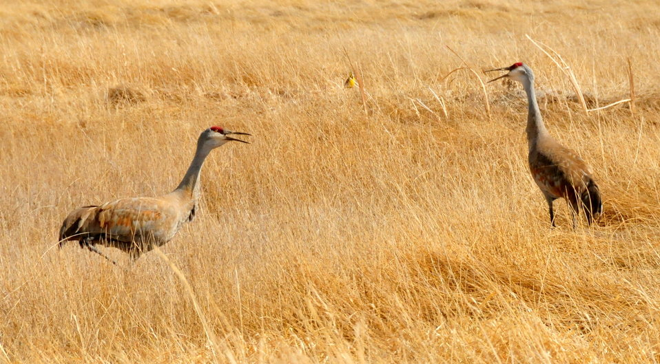 Sandhill Crane Pair Courting on Seedskadee NWR