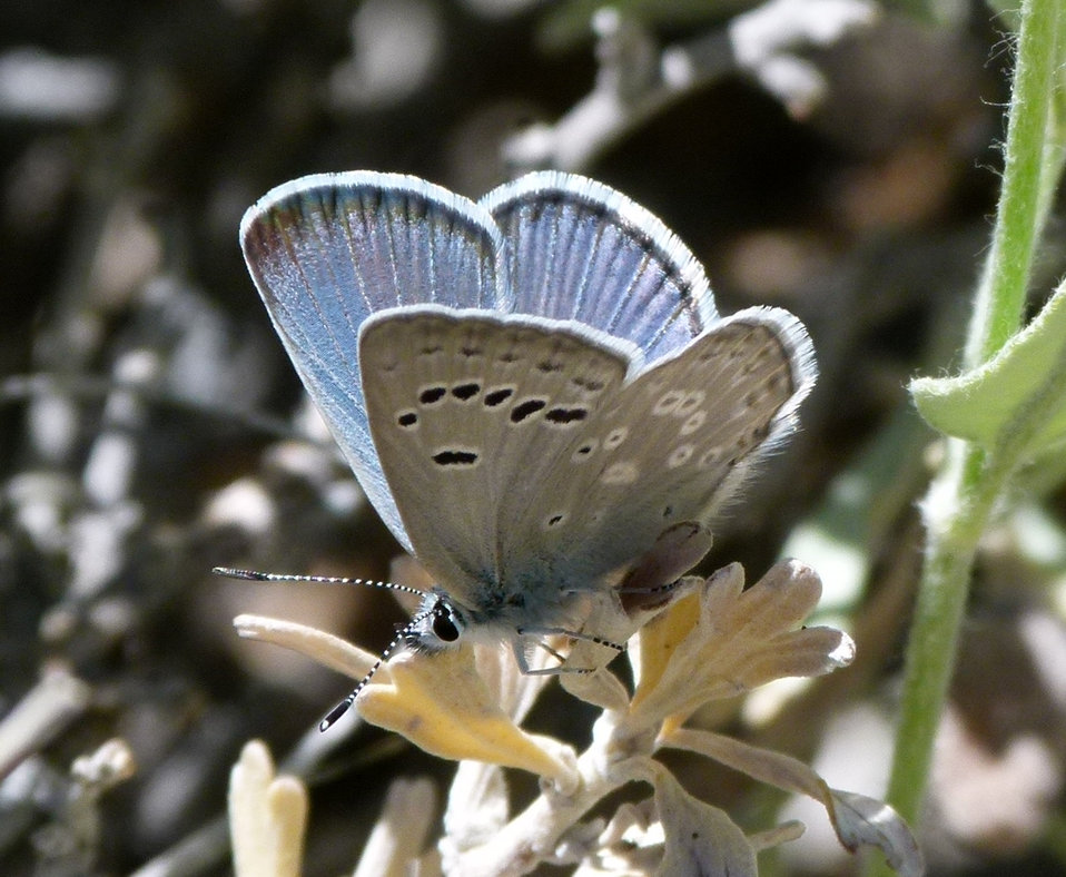 Spring Mountains icarioides blue (Plebejus icarioides austinorum)