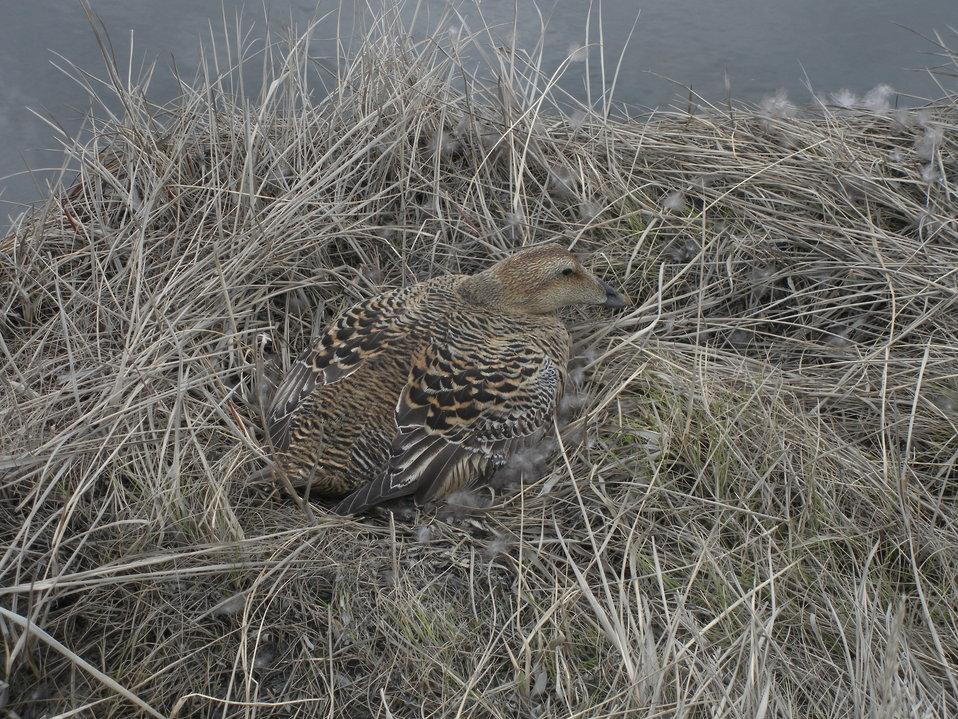 Common eider incubating