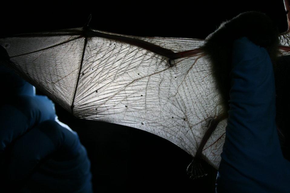 MDC biologist inspects bat wing
