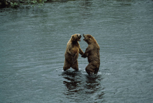 Kodiak brown bears sparring