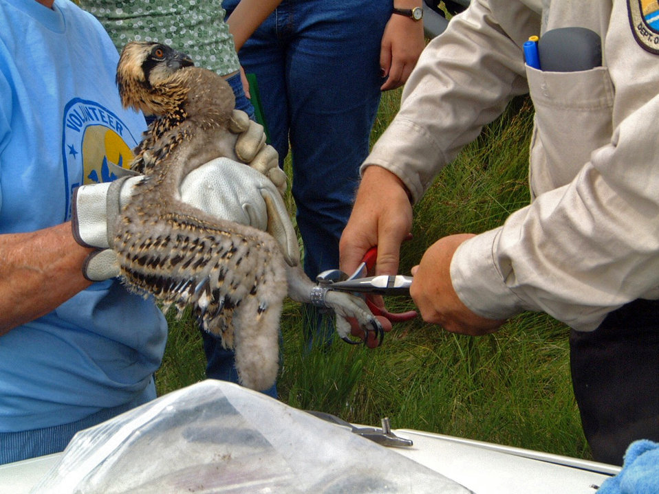Banding a young osprey