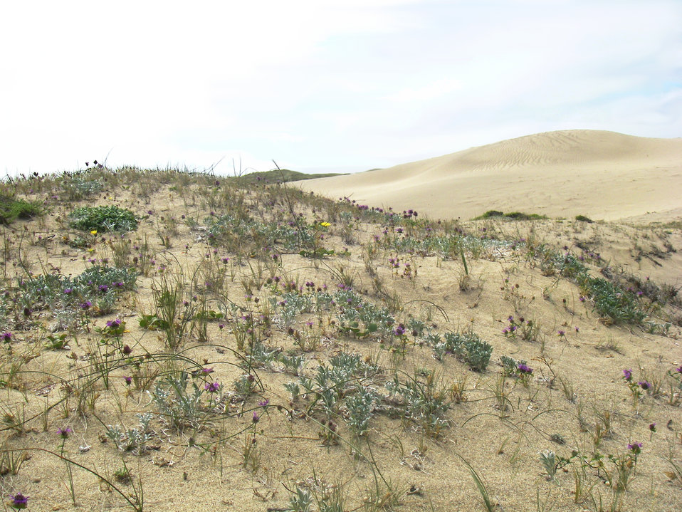Hillside at Pt. Reyes, California of tidestroms lupine with monardella
