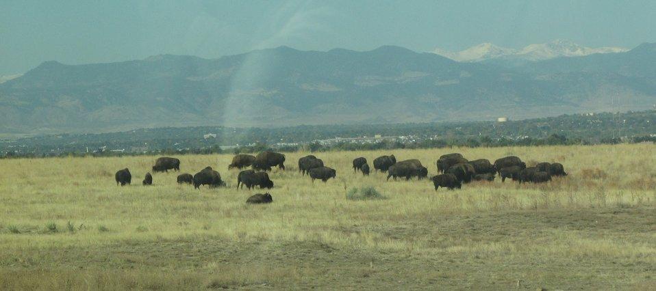 Bison Herd