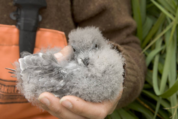 fork-tailed storm petrel chick