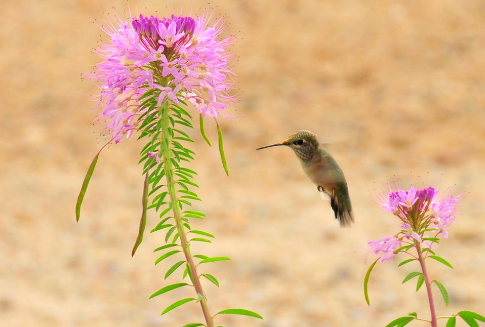 Rufous Hummingbird and Rocky Mountain Beeplant