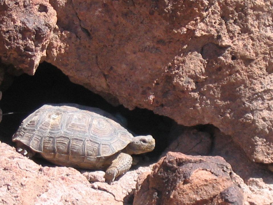 Mojave Desert Tortoise (Gopherus agassizii)