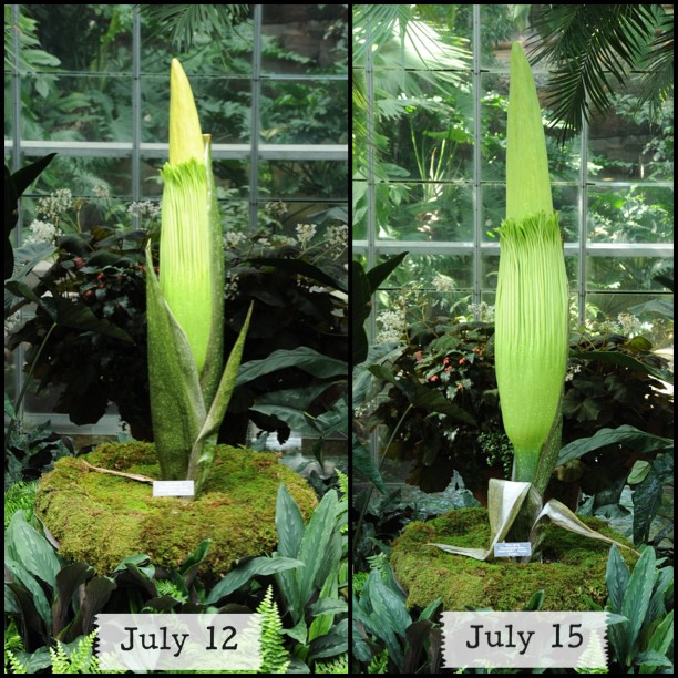 'Corpse Flower' nearing bloom, view at USBG today 10-8. #stinkyplant
