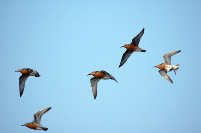 redknots in flight, Delaware Bay