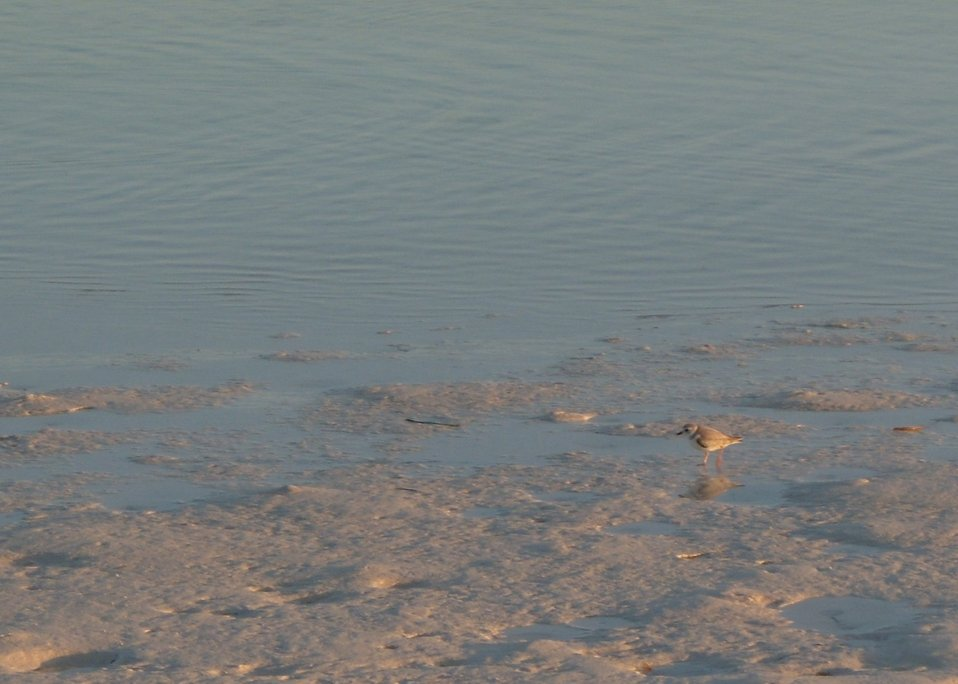 Piping plover on Great Inagua Island