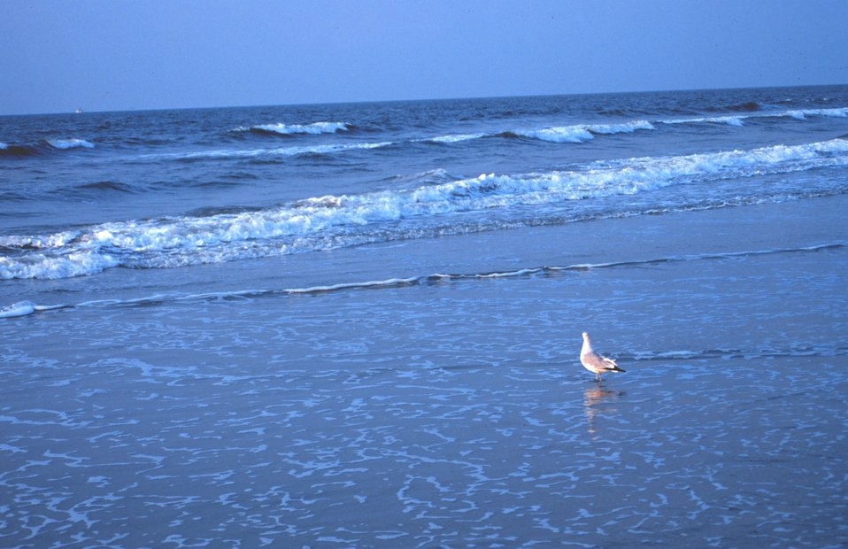 A seagull wading in the surf near the Edwin S. Taylor Fishing Pier