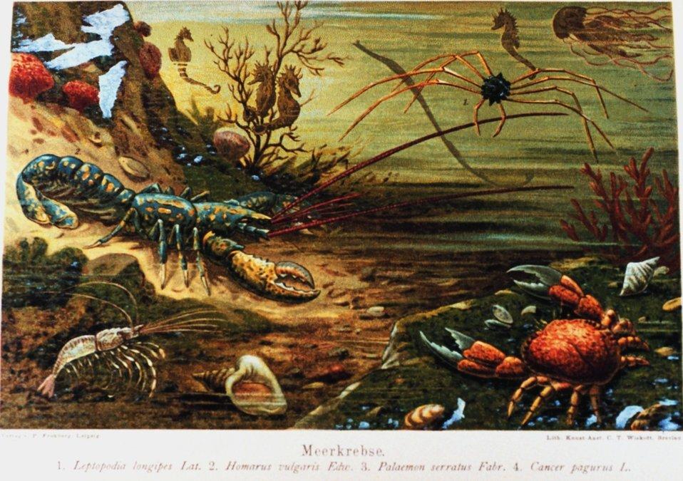 'Meerkrebse' in:  'Das Meer' by M. J. Schleiden, 1804-1881.  P. 464. Library Call Number QH91.S23 1888.
