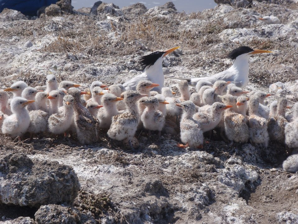 Elegant tern chicks huddle with parents