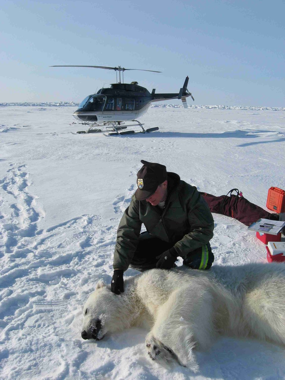 A USFWS Polar Bear Biologist Working With a Bear
