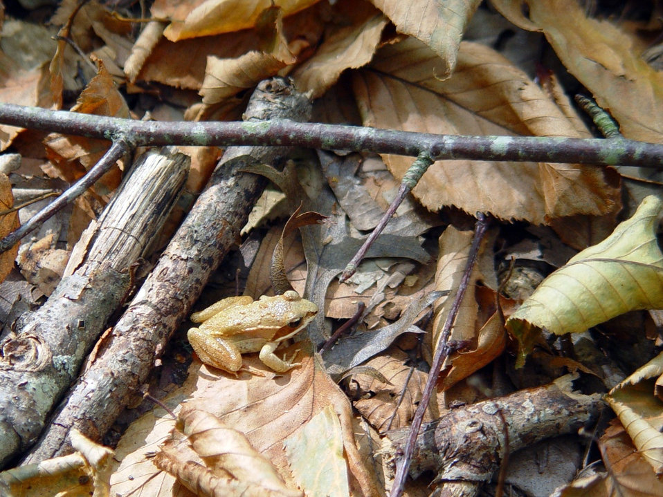 Photo of the Week - Wood Frog (CT)