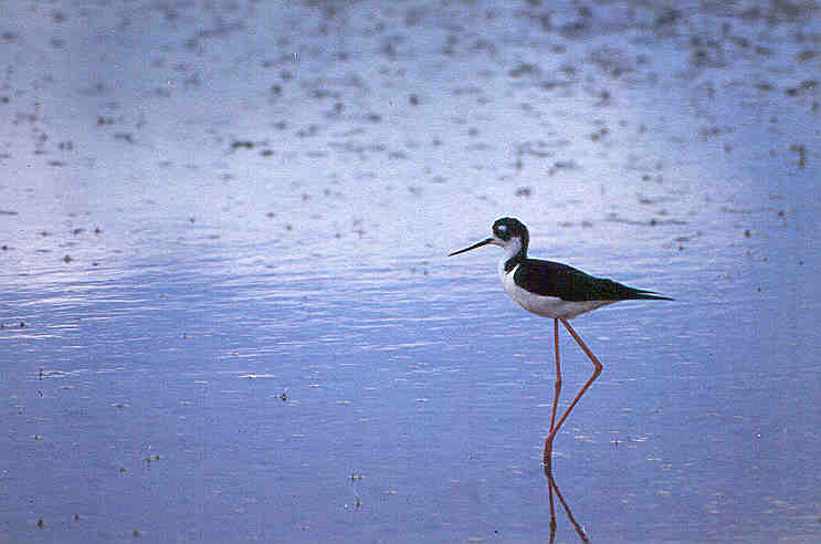 Black-necked Stilt on Bowdoin NWR