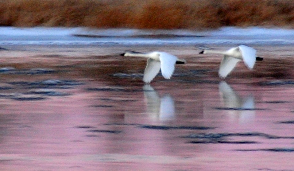 Trumpeter Swans at Sunset on Seedskadee NWR