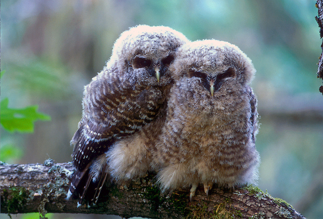 spotted owl chicks