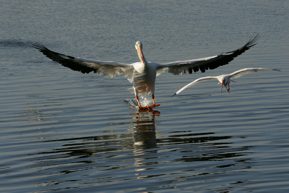 American White Pelican and White Ibis, J.N. 'Ding' Darling NWR