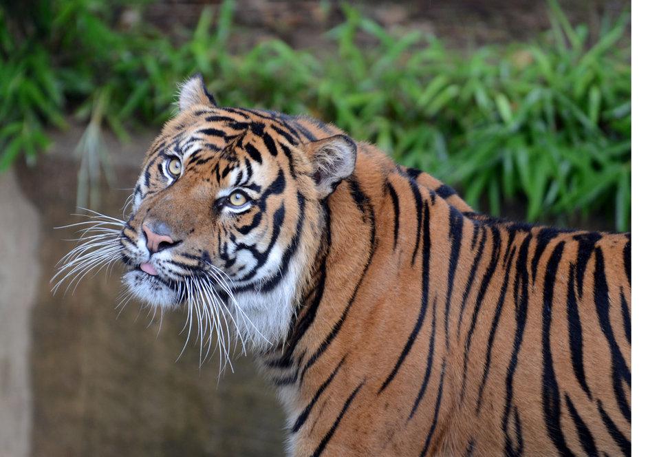 NZP Tiger Stamp 0180