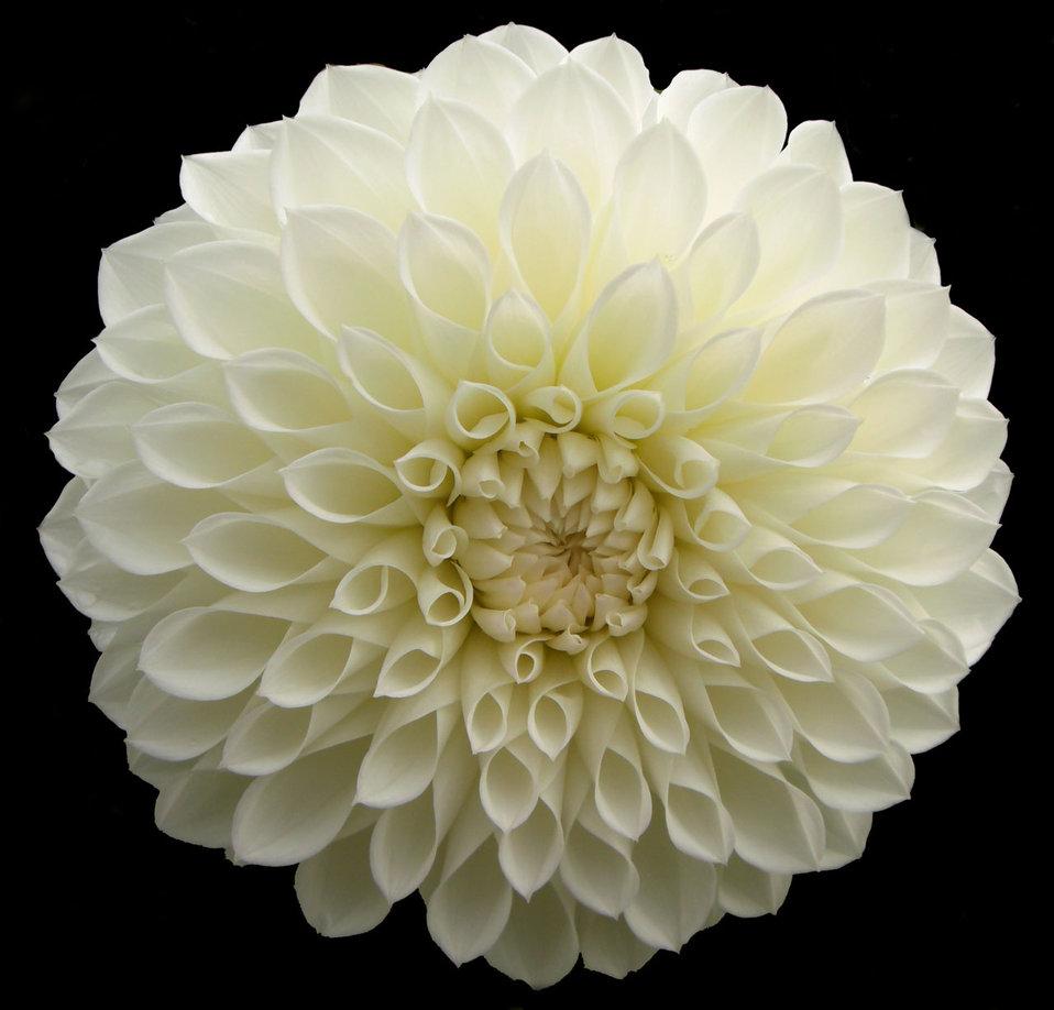 White jomanda