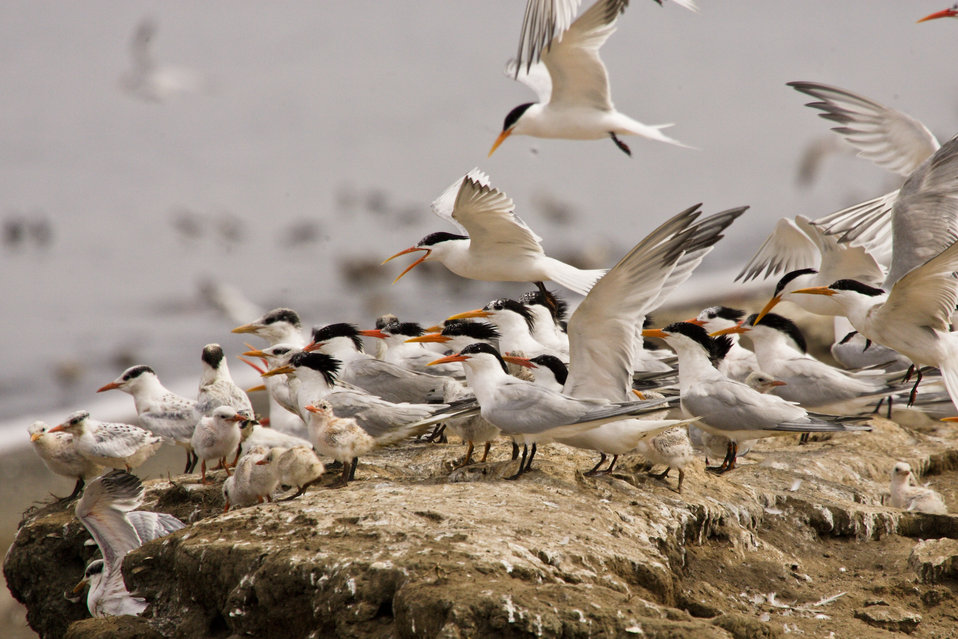 Elegant tern flock with chicks (Sterna elegans)