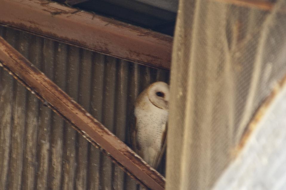 Barn Owl, Carrizo Plain 3