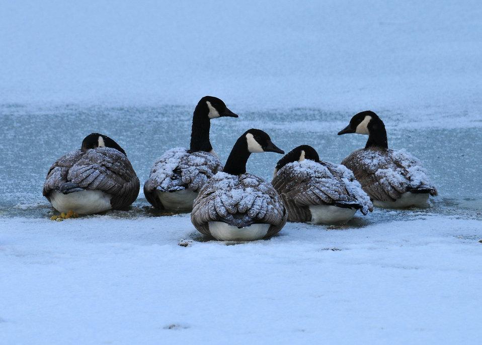 Canada geese by Doug Racine