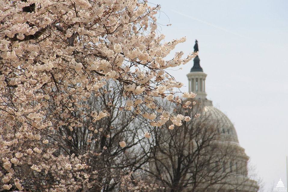 Cherry Blossoms in Senate Park