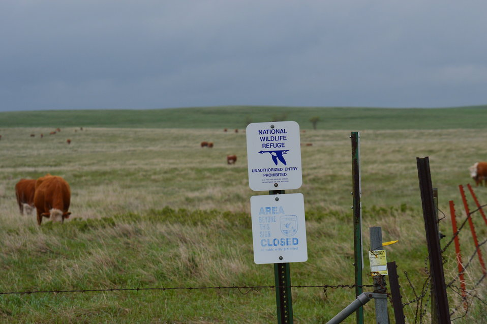 NWR sign and cattle
