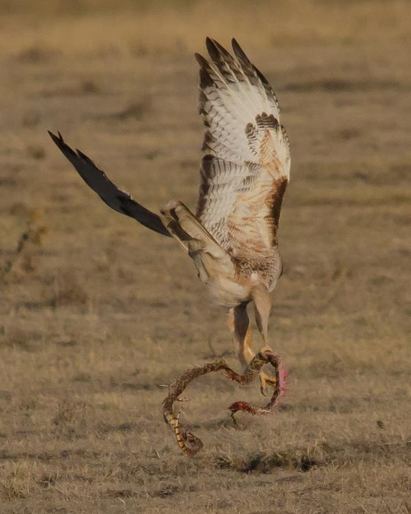 Red-tailed Hawk Grabs Breakfast