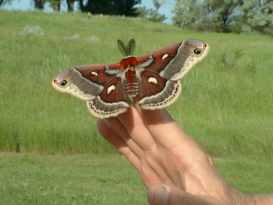 Cecropia Moth, Bowdoin NWR