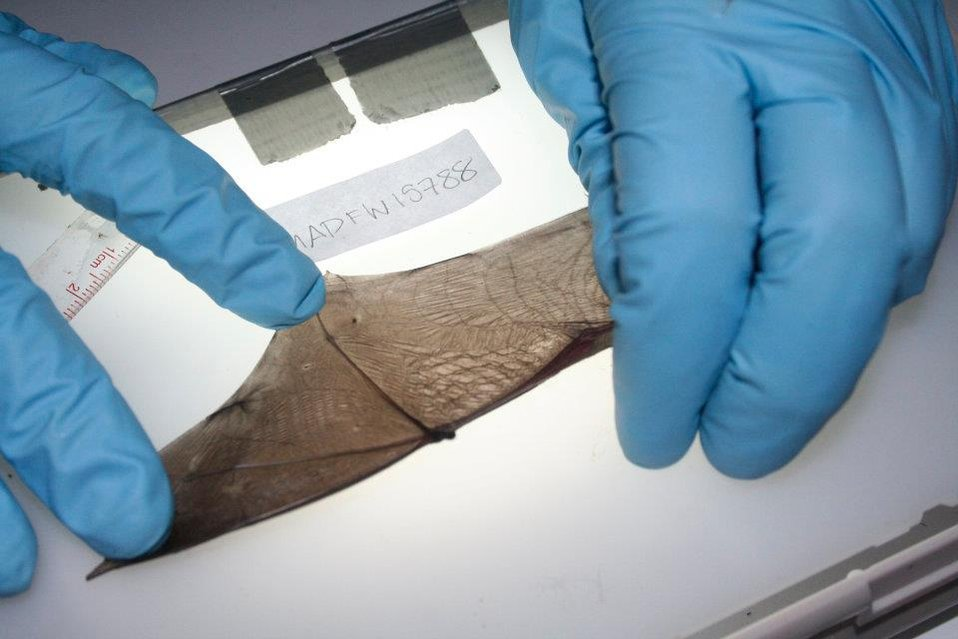 Researcher inspects bat wing