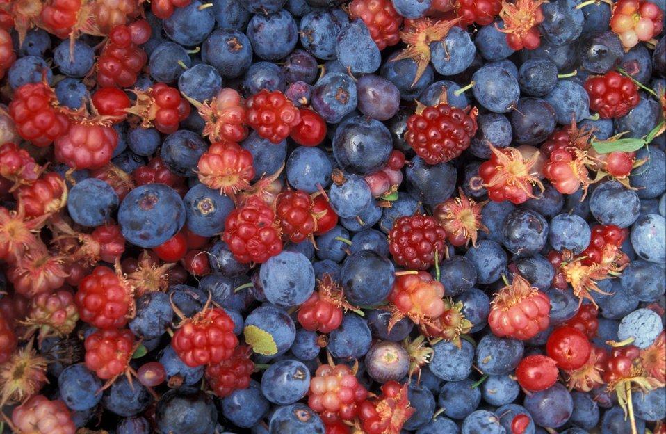Wild berries, Innoko NWR