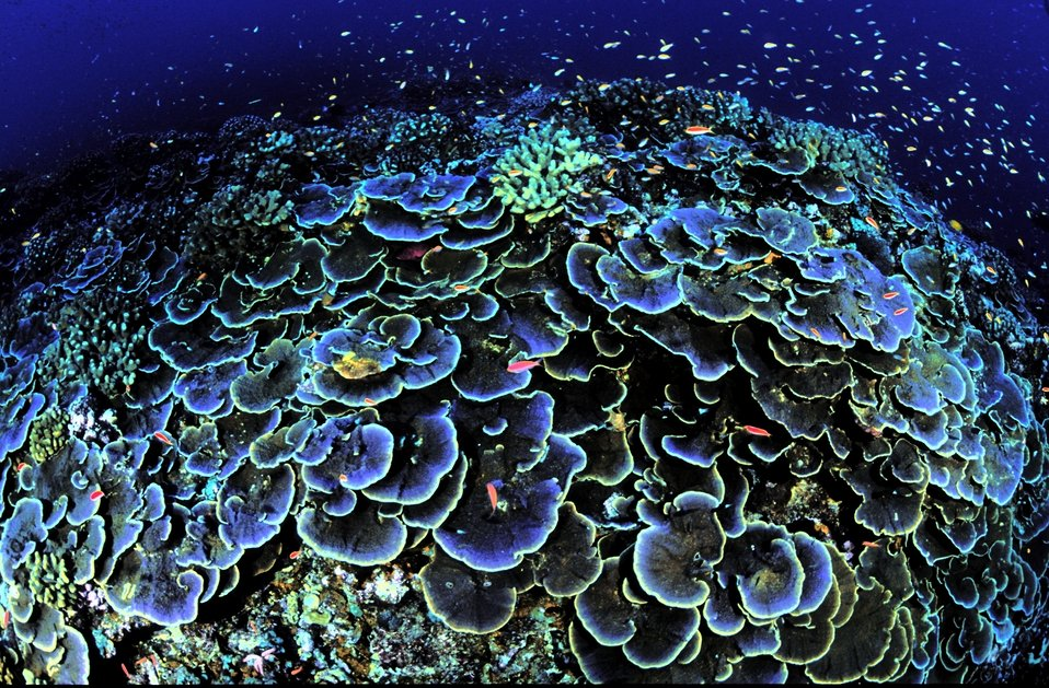 Coral at Jarvis Island NWR