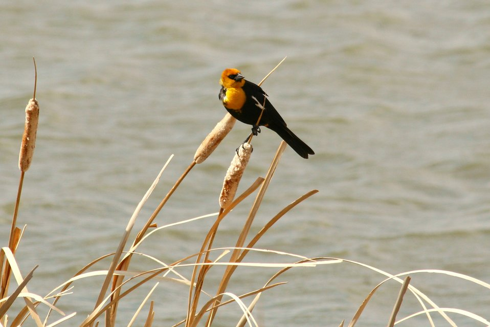 Yellow-headed Blackbird Perched on a Cattail