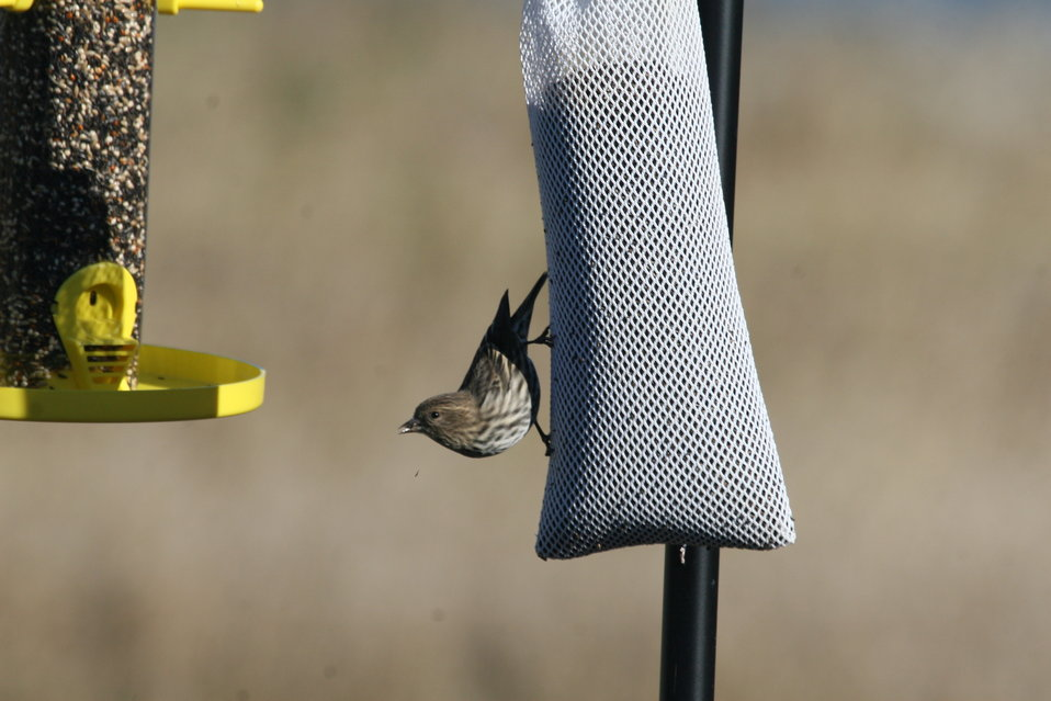 Who's at the bird feeder? - Pine Siskin